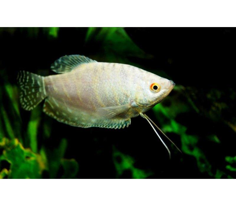 Platinum Gourami - Trichopterus Platinum