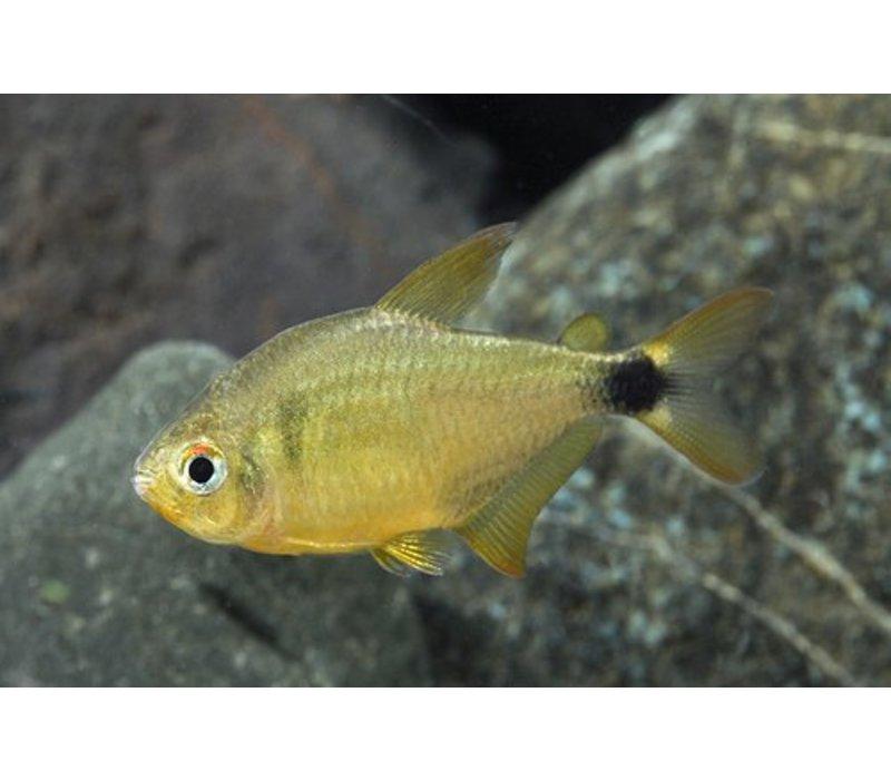 Kitty Tetra - Hyphessobrycon Cf. Loweae*