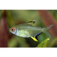 Lemon Tetra - Hyphessobrycon Pulchripinnis