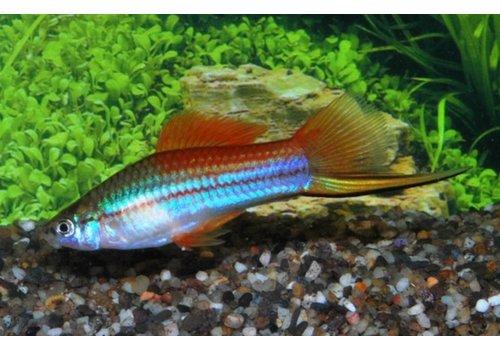 Neon Swordtail Fish