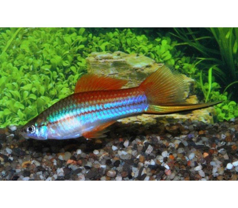 Neon Swordtail Fish - Xiphophorus Helleri