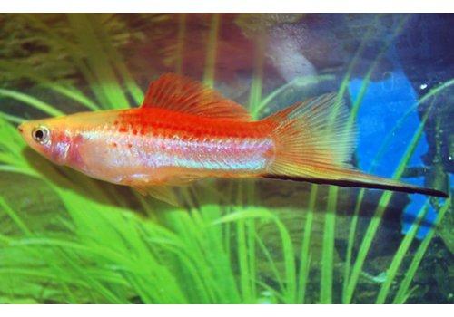 Pineapple Swordtail Fish