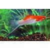 Swordtail Fish Koi - Xiphophorus Helleri