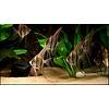 """Maanvis (Gewoon) - Pterophyllum """"Scalare"""""""
