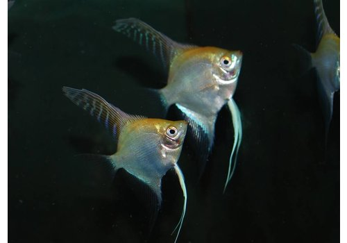 Angelfish (Gold)