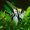 "Angelfish (Gold Marble) - Pterophyllum ""Scalare"""