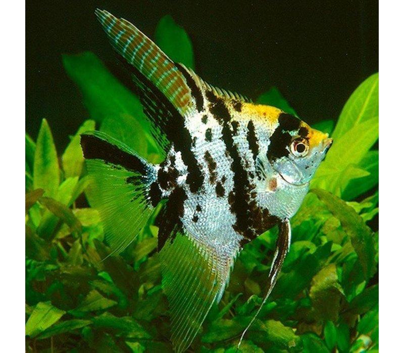"""Maanvis (Goud Marmer) - Pterophyllum """"Scalare"""""""