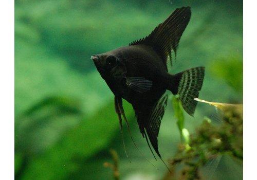 Maanvis (Zwart)