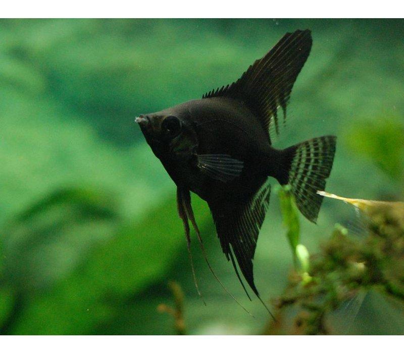 """Maanvis (Zwart) - Pterophyllum """"Scalare"""""""