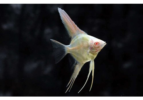 Angelfish Peru (Albino)