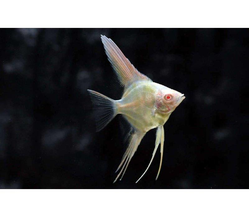 """Maanvis Peru (Albino) - Pterophyllum """"Scalare"""""""