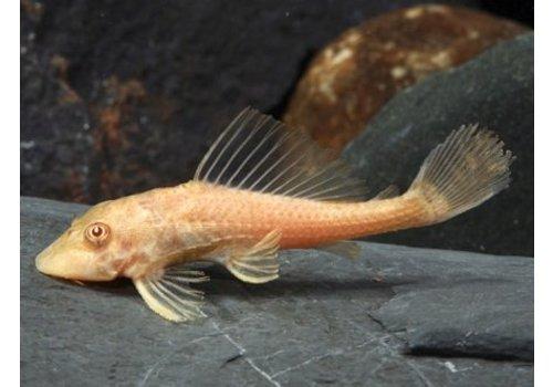 Hypostomus Plecostomus (Goud)