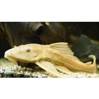 Hypostomus Plecostomus (Gold)