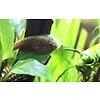Butterfly Algae Eater - Beaufortia Leveretti