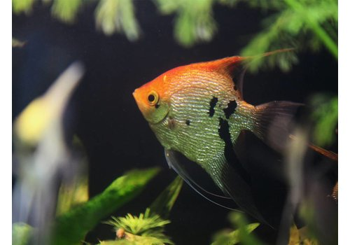 Angelfish Koi