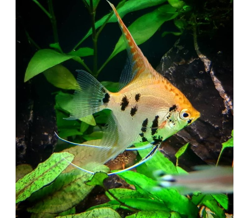 "Angelfish Koi - Pterophyllum ""Scalare"""