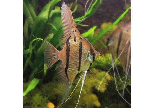Angelfish Peru Altum