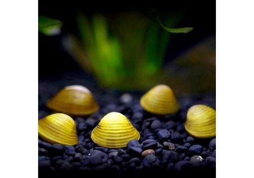 Mini Gele Mossel