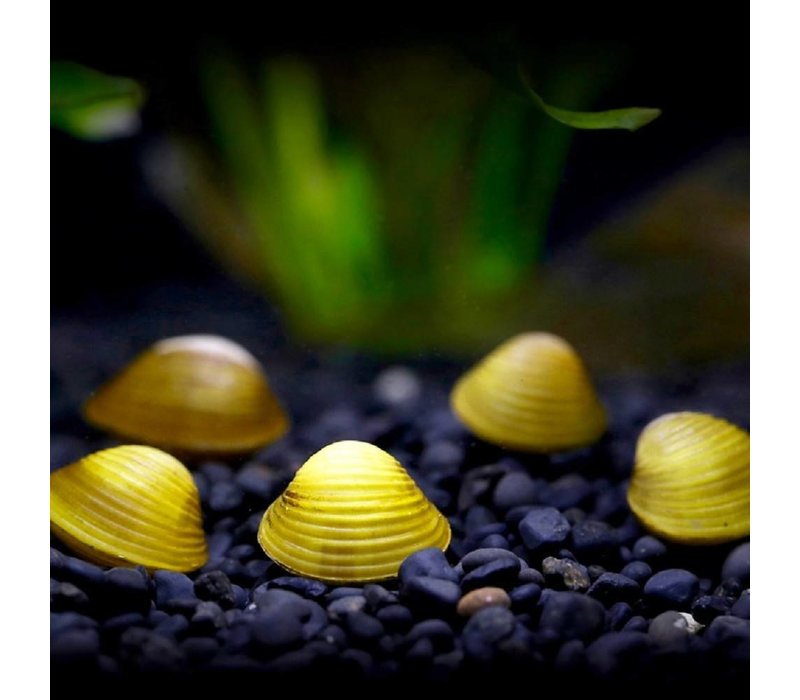 Mini Gele Mossel - Polymesoda sp.