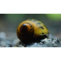 Red Spotted Snail - Neritina sp.