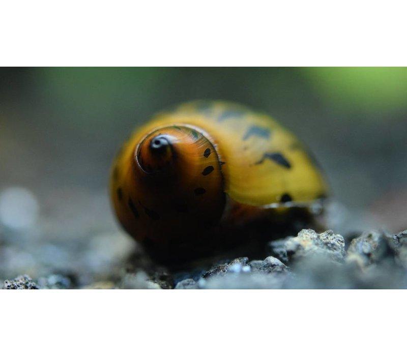 Tiger Nerite Snails - Neritina sp.
