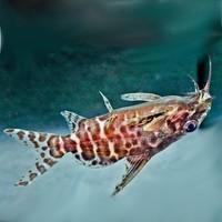Rugzwemmer - Synodontis Nigriventris