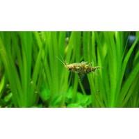 Upside-down Catfish - Synodontis Nigriventris