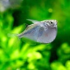 Spotfin Hatchetfish - Thoracocharax Stellatus
