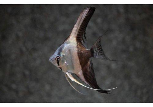 Angelfish Bicolor