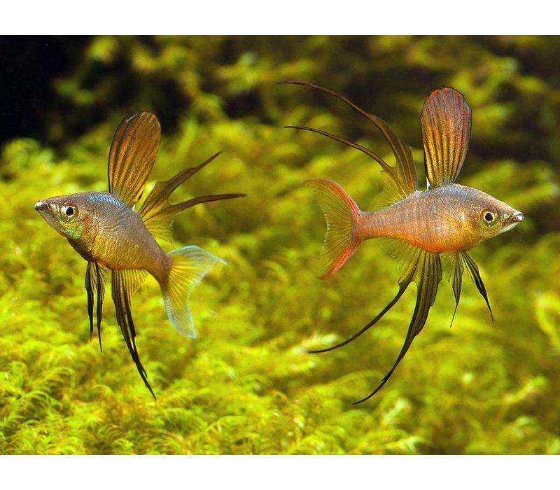 Threadfin Rainbowfish - Iriatherina Werneri