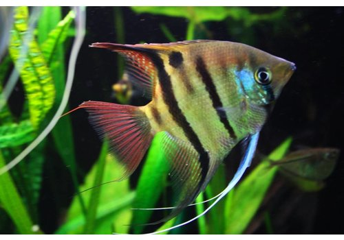 Angelfish Leopoldi