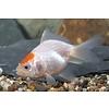Goldfish Red Cap 5-6cm - Carassius Auratus