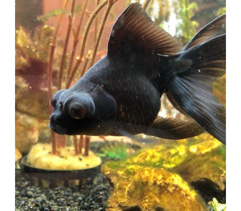 Sluierstaart Zwart 5-6cm - Carassius Auratus