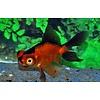 Goldfish Red/Black 5-6cm - Carassius Auratus