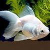 Sluierstaart Albino 5-6cm - Carassius Auratus