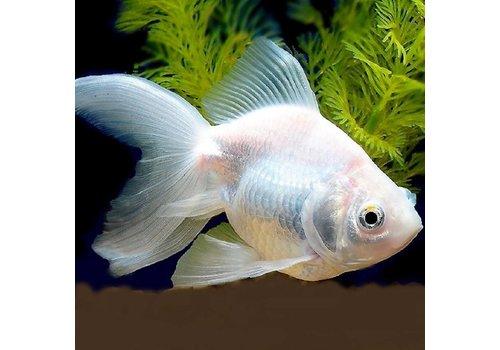 Goldfish Albino