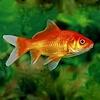 Goldfish 4-6cm - Carassius Auratus