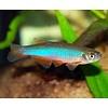 Blauwe Danio - Brachydanio Albolineatus