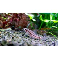Rosy Loach - Petruichthys Sp. 'Rosy'