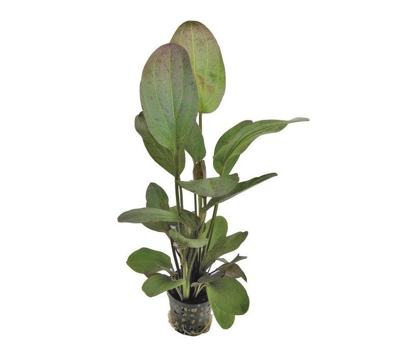 Echinodorus Ozelot Rood
