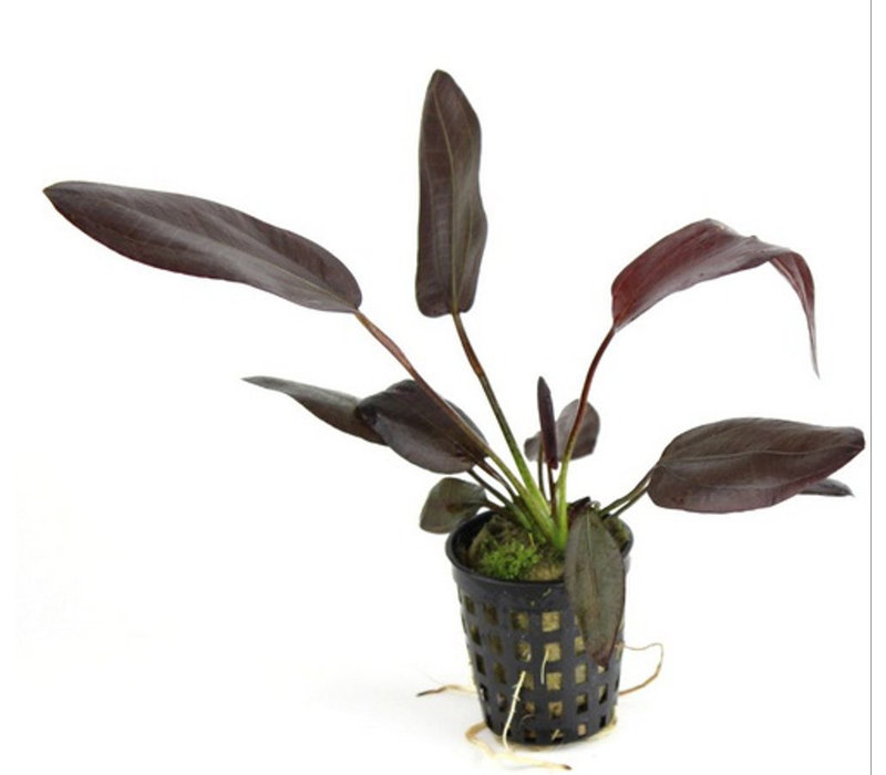 Echinodorus 'Aflame'