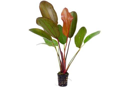 Echinodorus 'Hot Pepper'