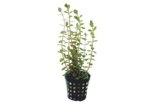 Aquaflora Rotala Rotundifolia