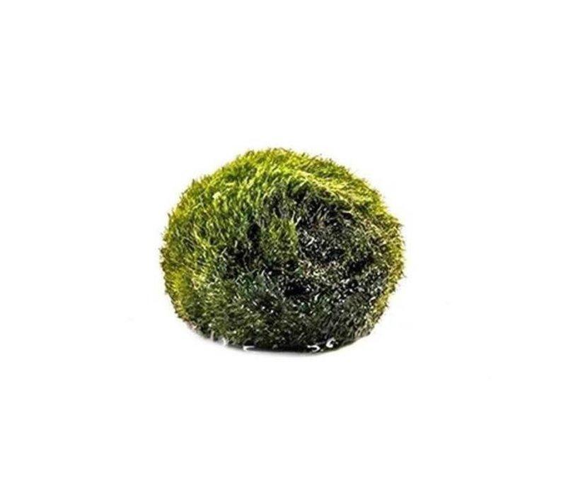 Chladoflora Aegagropila - Mosbol