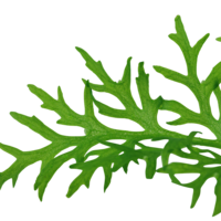 Ceratopteris Thalictroides