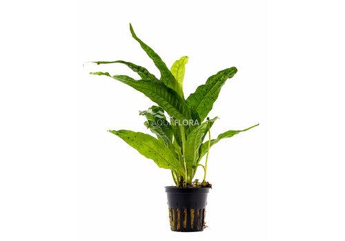 Aquaflora Microsorum Pteropus