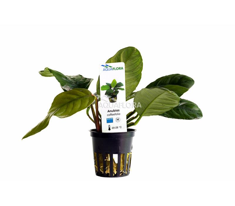 Anubias Barteri var. Coffeifolia