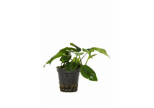 Aquaflora Anubias Bolang