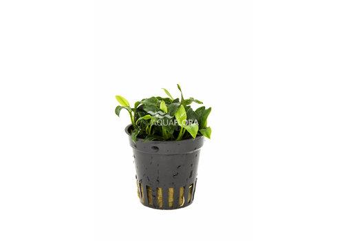 Aquaflora Anubias Pangolino