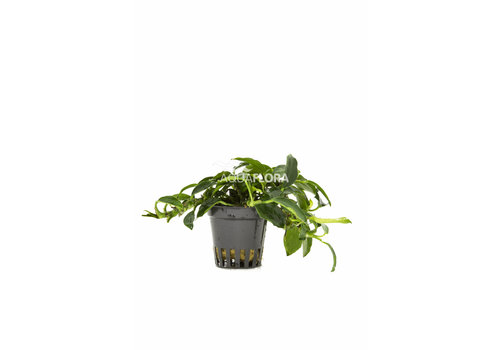 Aquaflora Anubias Paxing